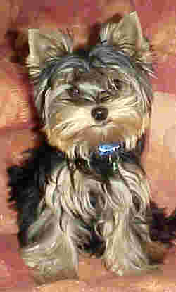 Yorkshire Terriers in South Africa